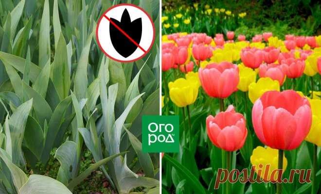 Почему не цветут тюльпаны и как добиться долгожданных бутонов | В цветнике (Огород.ru)