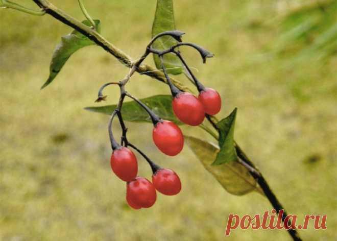 Лесные ягоды опасные для здоровья . Чёрт побери