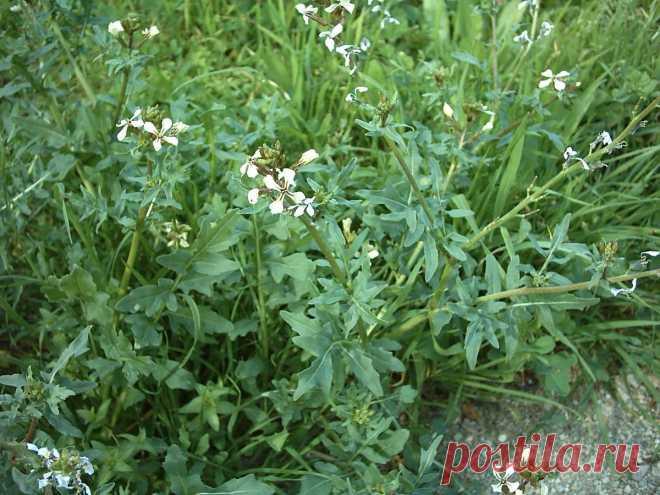 Многолетняя руккола — такая же вкусная, но более удобная в выращивании. Особенности выращивания. Фото — Ботаничка.ru