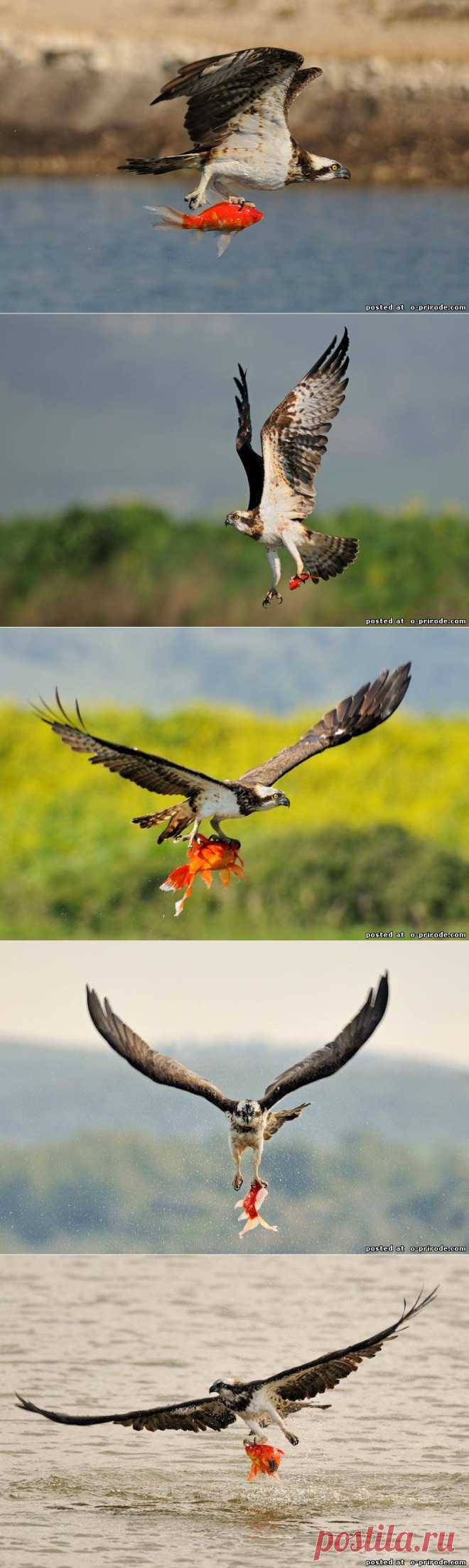 Хищная птица скопа - Фото мир природы