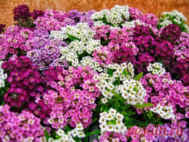 Алиссум: посадка и уход в открытом грунте, выращивание из семян, виды и сорта