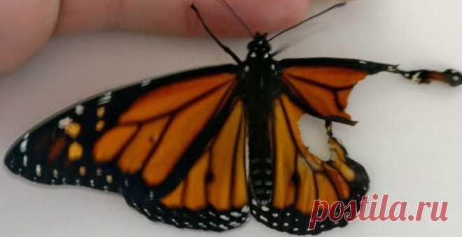 В зависимости от того, в какое время года они рождаются, бабочки монархи могут жить от двух недель до пяти месяцев, но время жизни этой несчастной должно было стать еще короче, если бы не вмешалась ее хозяйка — Роми Макклоски ------------------- Новые выпуски популярных программ в эфире «Моей Планеты»: