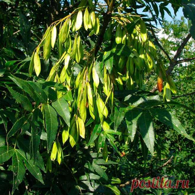 Лекарственное растение Ясень обыкновенный (Fraxinus excelsior). Дерево высотой 10-40 м; живет более 200 лет, обхват ствола достигает 3 м. Листья супротивные, до 30 см длиной, непарноперистые, чаще всего с 11, но бывает и с 9-13 удлиненно-ланцетными, заостренными листочками, опушенными с нижней стороны по средней жилке. Почки черные или черно-коричневые. Цветение начинается до распускания листьев. Цветки зеленоватые, без лепестков, собраны в невзрачные многоцветковые вертикальные метелки.