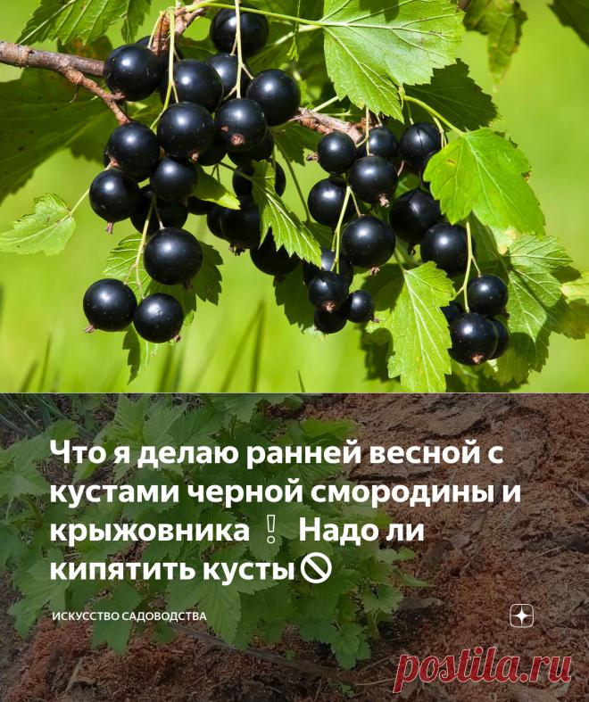Что я делаю ранней весной с кустами черной смородины и крыжовника❕ Надо ли кипятить кусты🚫 | Искусство садоводства | Яндекс Дзен