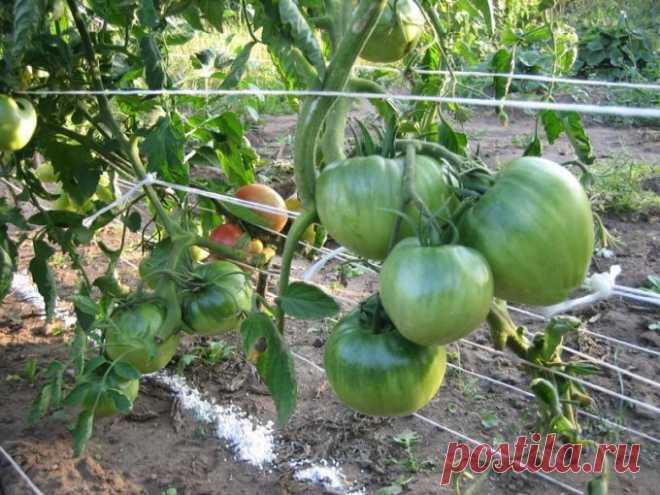 Как подвязывать помидоры без колышков 🚩 Сад и огородд
