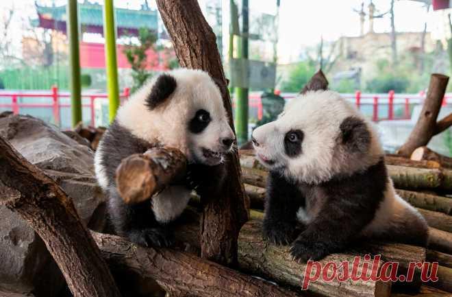 ФОТО ДНЯ. Пятимесячные детеныши панды Мэн Сян и Мэн Юань в берлинском зоопарке — первые панды, родившиеся в Германии. Обычно в дикой природе из-за нехватки питательных веществ большие панды выкармливают только одного детеныша, но этим малышам повезло, их маму хорошо кормят.