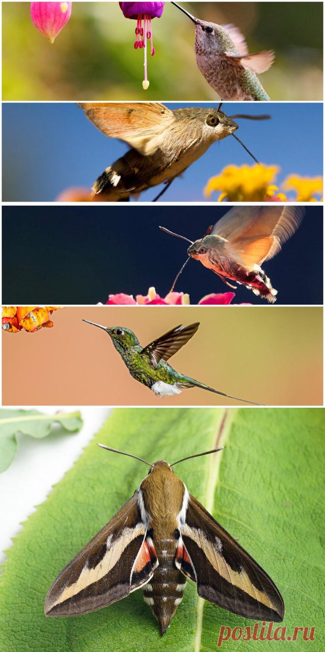 На отдыхе в Анапе увидела колибри. Присмотрелась и поняла, что это огромная бабочка | PetZona.Ru | Яндекс Дзен