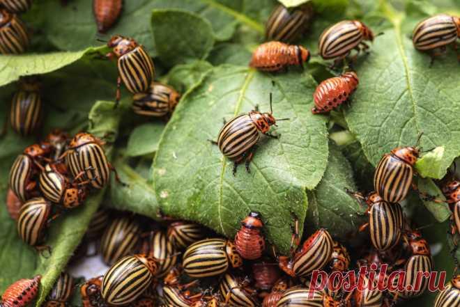 Защита картофеля от колорадского жука и болезней — Ботаничка.ru