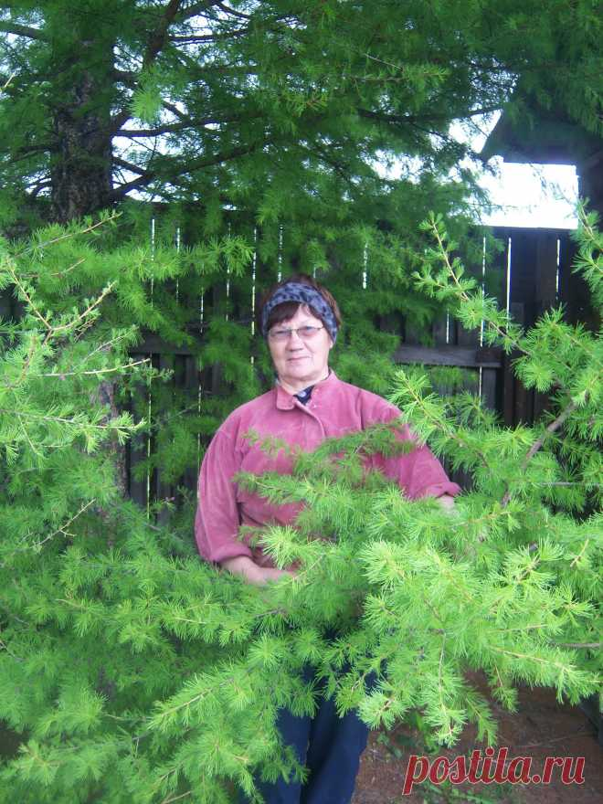 И в саду растут лиственницы