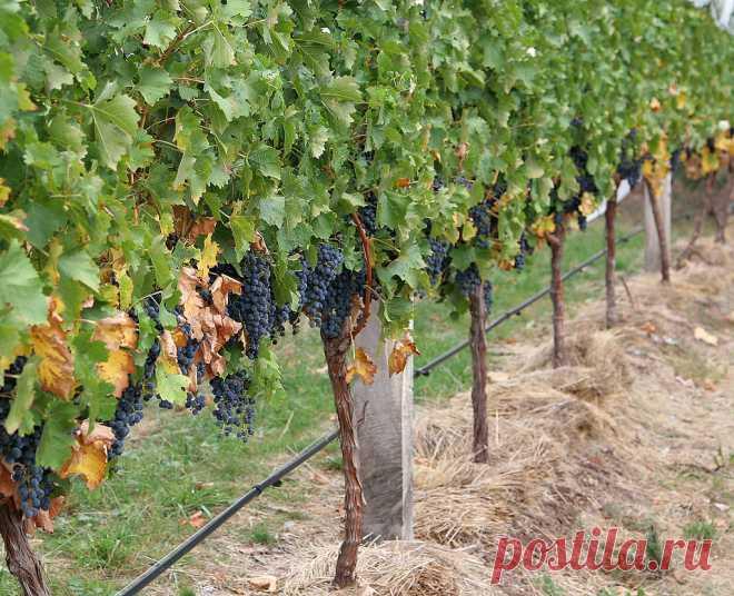 Уход за виноградом весной и летом. Качество и количество урожая винограда напрямую зависит от правильного ухода. Работы с лозой нужно начинать ранней весной