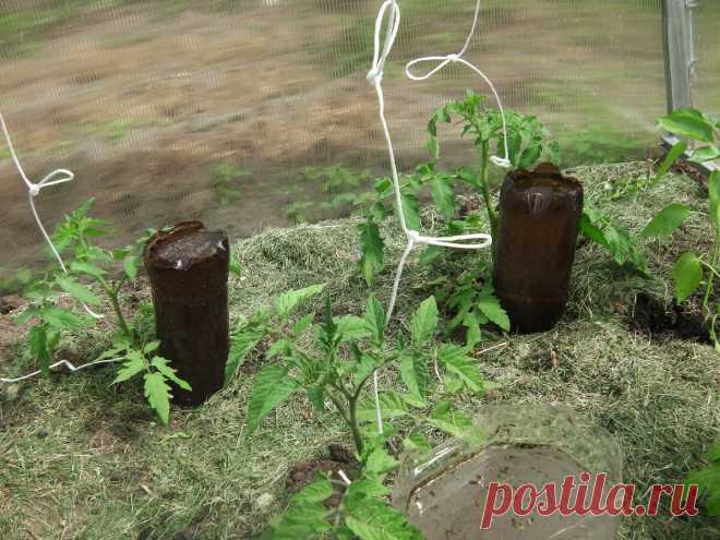 Под каждым томатом ставлю перевернутую бутылку — для капельного полива, методу научили опытные огородники   Маленький сад на краю Вселенной   Яндекс Дзен