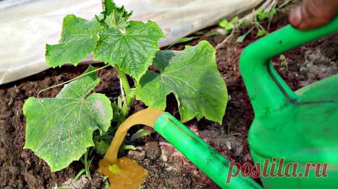 Полейте этим любое пожелтевшее растение и оно зазеленеет на глазах! Железосодержащие подкормки! — Смотреть в Эфире Чем подкормить от пожелтения растений?  Полейте этим любое пожелтевшее растение и оно зазеленеет на глазах! Железосодержащие подкормки!   Проверенные…