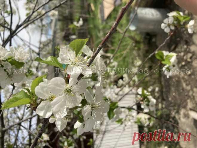 Чтобы вишня подарила большой урожай, забросайте ее песком. И яблони, груши, сливы тоже | посуДАЧИм об огороде | Яндекс Дзен