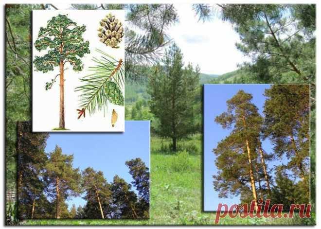 Породы древесины. Сосна. | Для тех, кто любит работать с деревом