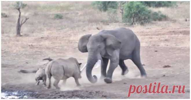 В Национальном парке Крюгера в ЮАР самка носорога с детенышем были на водопое, когда к ним стал приближаться слон. Матери-носорогу не понравилось появление гостя, и она бросилась в атаку. #видео