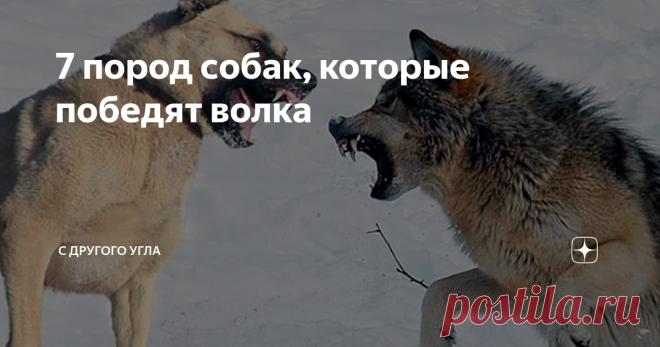 7 пород собак, которые победят волка Волк — один из самых опасных хищников на планете. Мощное, смелое, подвижное животное даже в одиночку способно представлять собой серьезную угрозу. В разных культурах мифы наделяли волков сверхъестественными способностями и интеллектом. Для противостояния волкам во все времена использовали их «младших братьев» — собак. Но далеко не всякий пес способен выйти победителем в схватке с волком. Какие породы собак вывел человек для борьбы с сер...