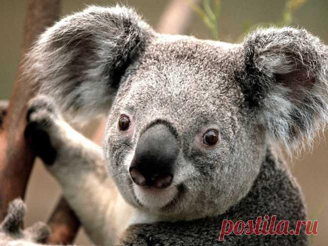 коало