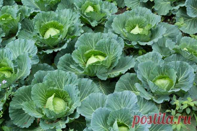 Выращиваем капусту правильно — Ботаничка.ru