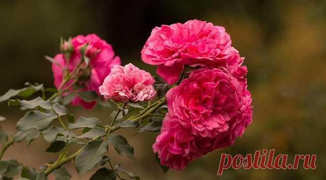Лучшая плетистая роза для вашего сада: подборка самых зимостойких и красивых сортов с фото и описанием на Supersadovnik.ru