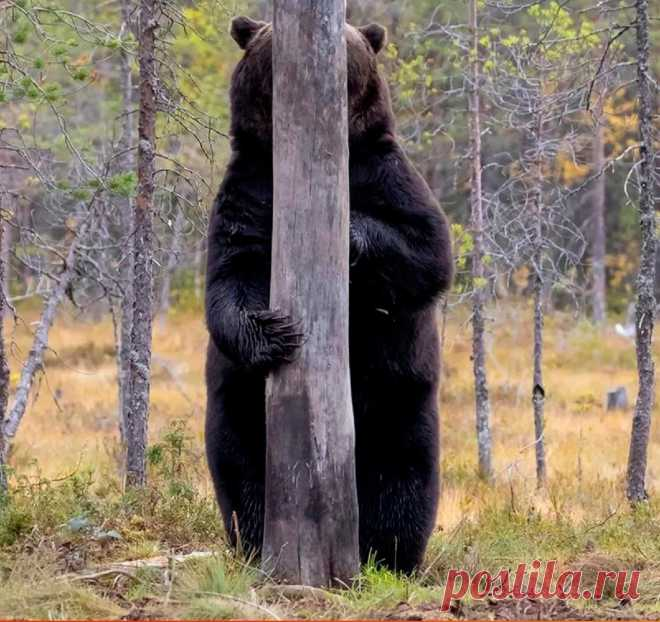 ღ Просто скромный медведь)