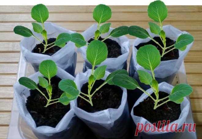Сеем капусту по-новому — в китайские мешочки   Маленький сад на краю Вселенной   Яндекс Дзен