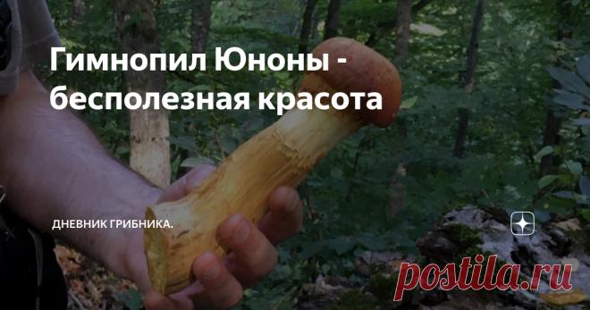 Гимнопил Юноны - бесполезная красота Гимнопилус прекрасный (Gymnopilus junonius), видный, великолепный, красивый и огневка яркая - это названия одного гриба.  В осеннем лесу издали видны красивые сросшиеся в большие колонии ярко-желтые грибы. Они достигают внушительных размеров - Гимнопил Юноны входит в семейство Гименогастровые и считается не ядовитым, но несъедобным из-за сильной горечи грибом. Вообще съедобных грибов в этом семействе не существует. Распространен по всей...