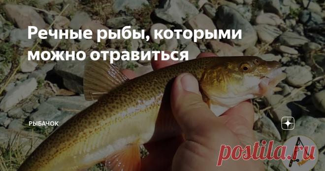 Речные рыбы, которыми можно отравиться