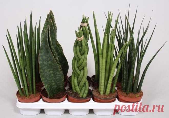 Разнообразие сансевиерии Сансевиерия — бесстеблевое вечнозеленое растение тропиков и субтропиков, относящееся к популярному у цветоводов-любителей семейству Спаржевых. В домашних условиях декоративный многолетник является оче…