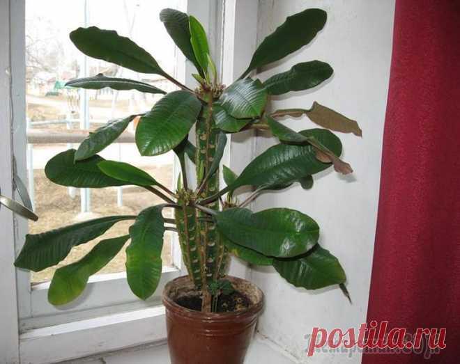 Молочай беложильчатый - Комнатные растения и цветы. Florets.ru