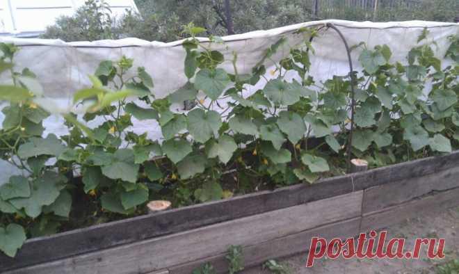 Безопасная и недорогая подкормка для большого урожая огурцов на грядке! - СУПЕР ШЕФ