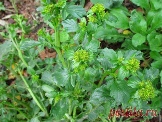 The best plants-sideraty: krestotsvetny