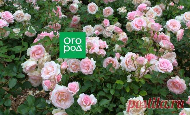 Como criar las rosas en la sombra y la penumbra   En el macizo de flores (Огород.ru)