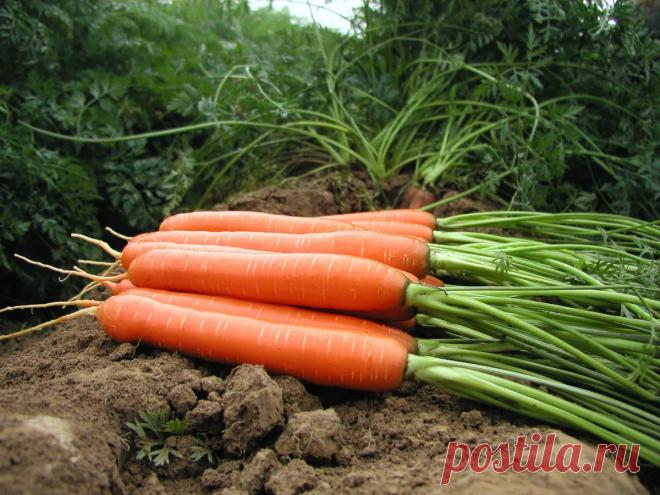 Последняя ВАЖНАЯ подкормка для моркови в августе. Увеличит корнеплод В 2 РАЗА и продлит лежкость.   6 соток