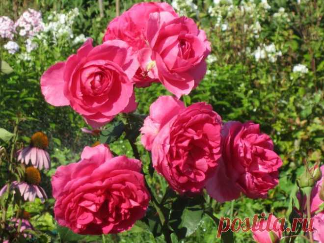 (+1) тема - Розы и зимовка | ОГОРОД БЕЗ ХЛОПОТ