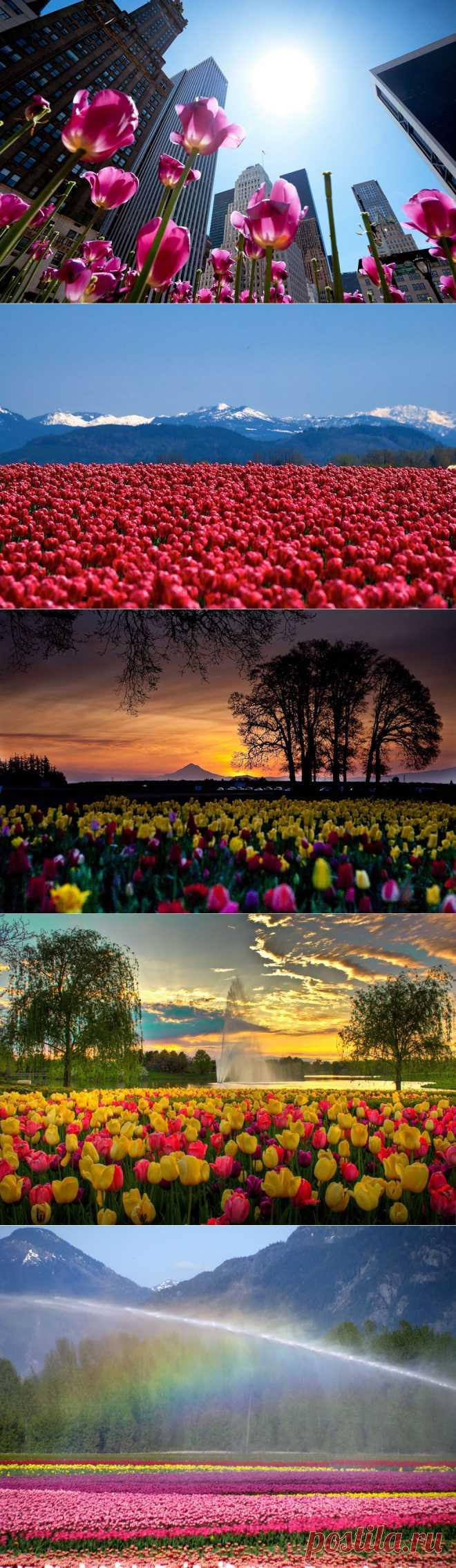 Самые яркие тюльпаны со всего света :  НОВОСТИ В ФОТОГРАФИЯХ