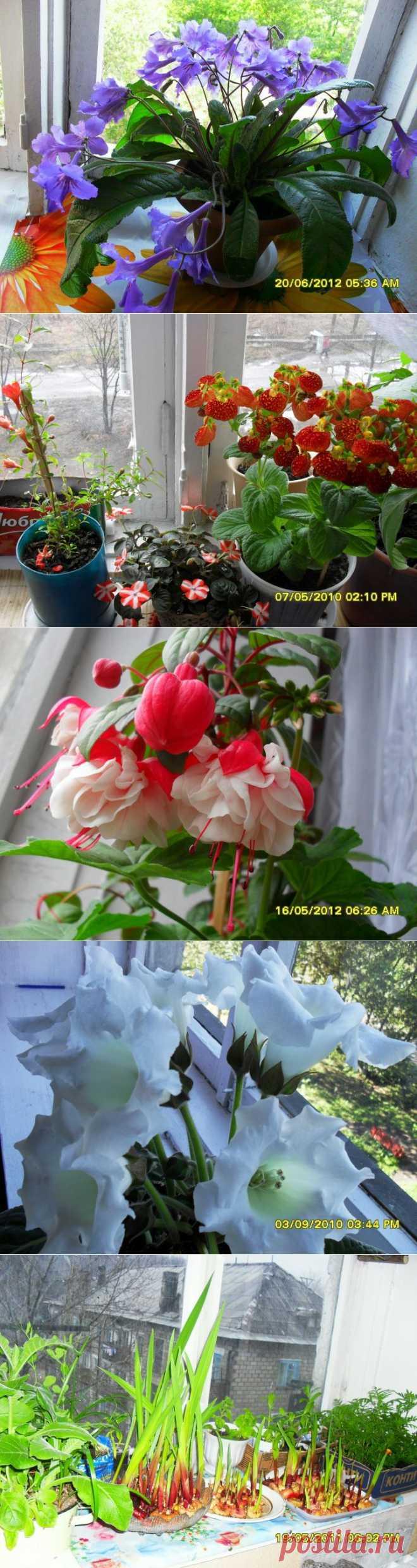 ПРОСТО ЦВЕТЫ НА ПОДОКОННИКЕ-но как привлекают!Мы их поливаем,рыхлим землю,подкармливаем.Они дарят нам радость созерцания.Мы любим цветы! | САД НА ПОДОКОННИКЕ