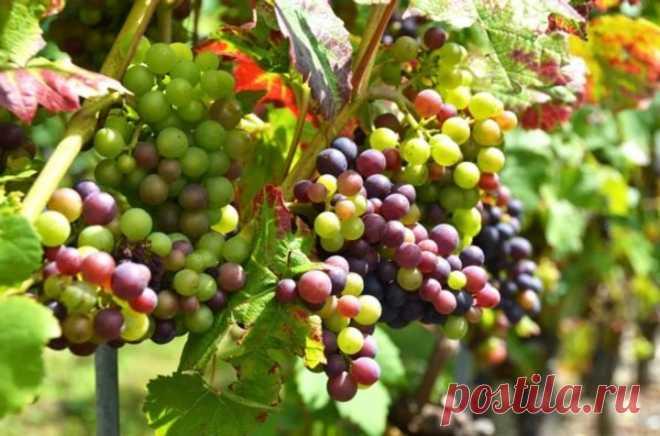 5 вариантов, что делать с недозревшим виноградом