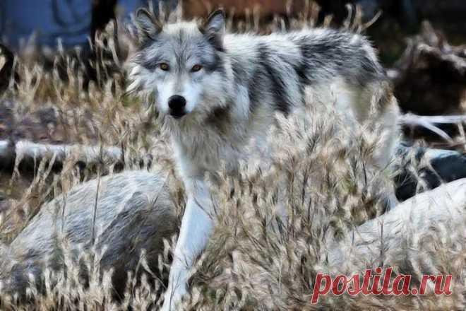 Волк среди камней---  -Fotos | Facebook