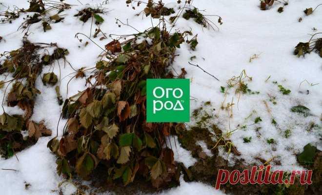 Почему вымерзает клубника и как этого не допустить | В саду (Огород.ru)