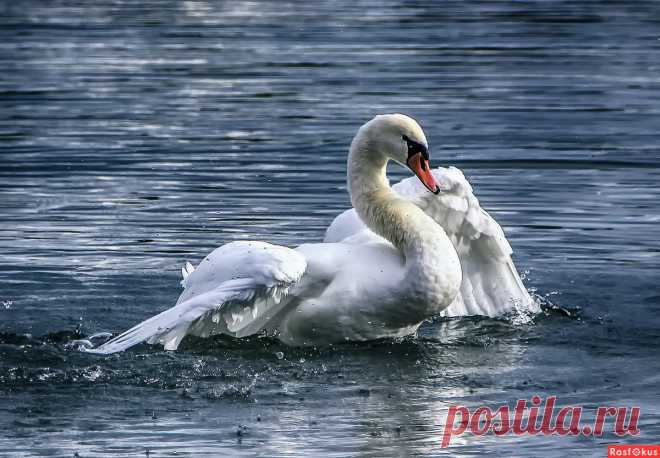 Фото: Купание лебедя. Alexander Andronik. Фото животных - Фотосайт Расфокус.ру