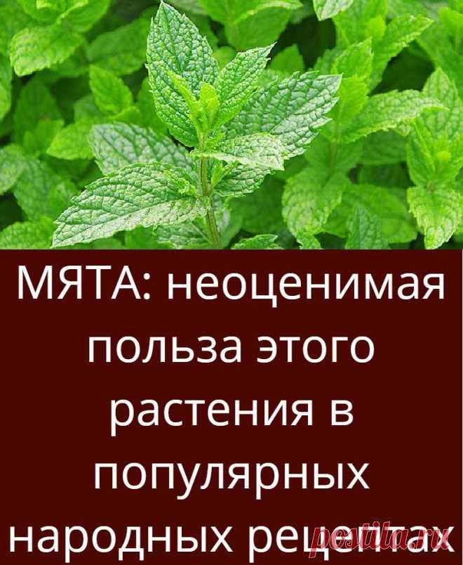 МЯТА: неоценимая польза этого растения в популярных народных рецептах