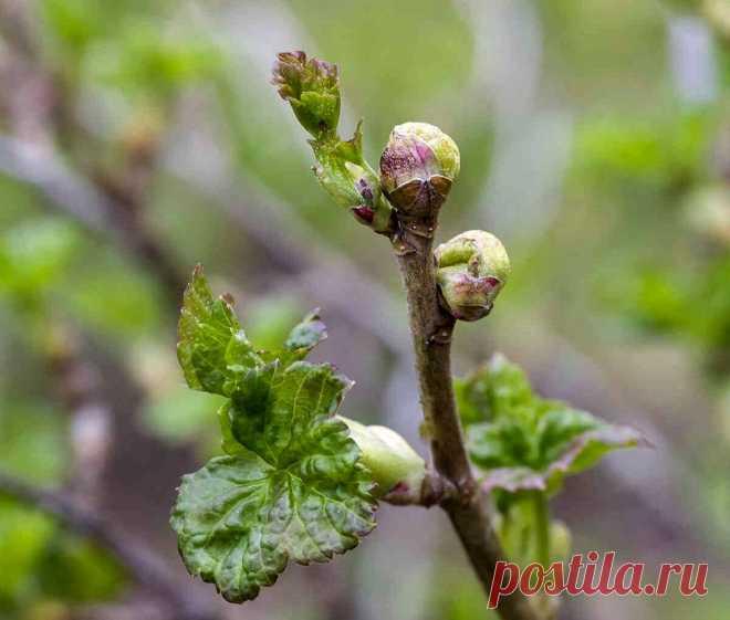 ЧЕМ ОБРАБОТАТЬ СМОРОДИНУ ОСЕНЬЮ О ПОЧКОВОГО КЛЕЩА. САМЫЕ ЭФФЕКТИВНЫЕ СРЕДСТВА  Опасность заражения смородины клещом. Если почковой клещ поселился на смородине, то почки растения к осени значительно увеличиться и достигнут размеров горошины. Ведь в одной почке на смородине могут поселиться до 1 тысячи особей. Вредители перезимуют внутри почке, а весной отложат яйца на листьях.  Если во время не бороться с вредителем, то за сезон почковый клещ даст пять поколений. В результа...
