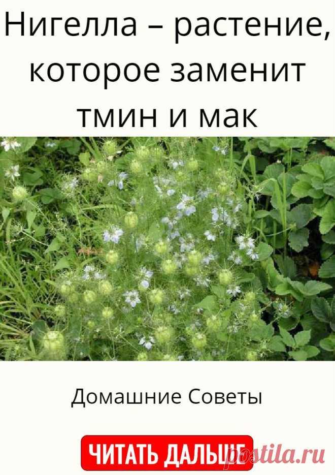 Нигелла – растение, которое заменит тмин и мак