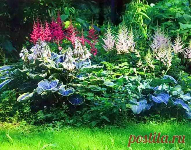 Почему сохнет астильба: что делать сохнут листья у астильбы