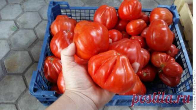 Томат 'Пузата хата' - очень урожайный сорт Подведу итог по томату 'Пузата хата'. Это оказался очень урожайный и беспроблемный сорт.Коротко, как все начиналось:11 марта — посев;17 марта — всходы;28 апреля — высадка в грунт;26 мая — первый цветок;1 июня — первая завязь.Этот томат мне очень понравился...