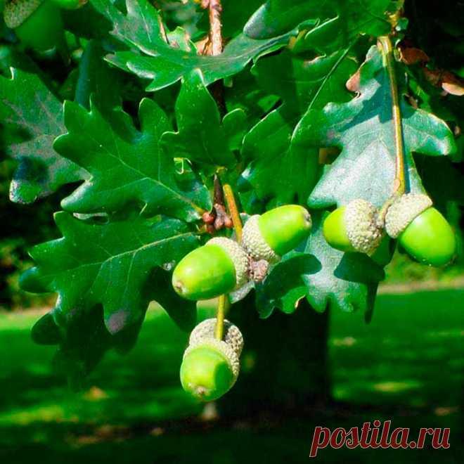 Лекарственное растение Дуб черешчатый (Quercus robur). Дерево высотой свыше 40 м с сильно трещиноватой корой и раскидисты¬ми корявыми ветвями. Листья удлиненные, асимметричные, у основания сердцевидные с ушками, длиной 5-12 см, на очень коротком черешке (у похожего дуба каменного (Q. petraea) листья на черешке длиной 1-3 см, широкояйцевидные, симметричные, и кроме того, у основания клиновидные). Невзрачные зеленоватые мужские цветки собраны в рыхлые висячие сережки; женские цветки - незаметные.