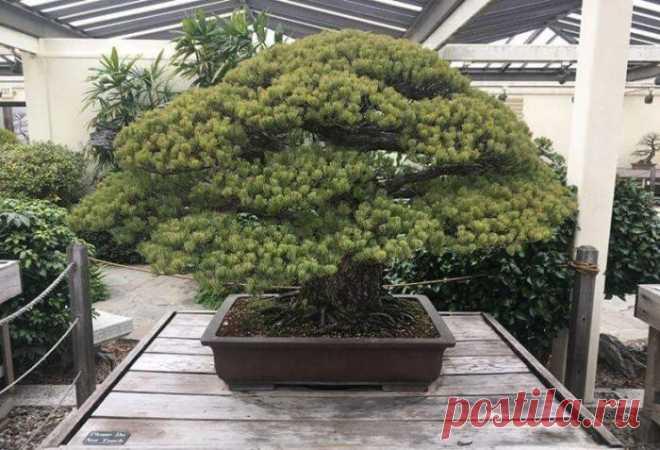 El pino blanco   el Diablo toma Este árbol admirable eran plantados en 1625 y ahora a ello 392 años. Ha sobrevivido el bombardeo nuclear de Hiroshima. El árbol pertenecía a la familia Yamaki, que en 1945 vivía de todo en dos millas del lugar de la caída de la bomba atómica, cuando ha muerto cerca de 140000 personas. El árbol, y la familia Yamaki han sobrevivido la explosión relativamente intacto. Ahora árbol está situado en los EEUU en el dendrario Nacional en Washington, el distrito Colombia. En 1976 el maestro bonsay Mas...