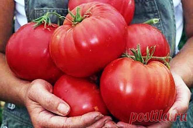 Como criar los grandes tomates