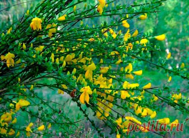 Лекарственное растение Язвенник обыкновенный (Anthyllis vulneraria). Многолетнее растение высотой 15-30 см. Стебли часто полегающие, но преимущественно приподнимающиеся до прямостоячих. Корень стержневой. Прикорневые листья длинночерешковые, простые, к моменту цветения часто опадают. Стеблевые листья сидячие, перистые, с овально-ланцетными листочками. Конечный листочек крупнее, чем все остальные. Светло-желтые до оранжево-желтых цветки с венчиком длиной 1 -2 см.
