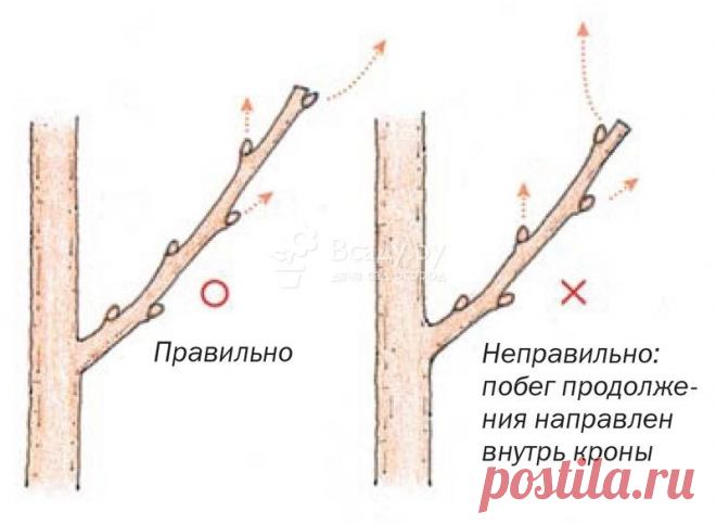 Омолаживающая обрезка плодового дерева на примере яблони: укорачивание старых скелетных веток, как использовать волчки   уДачный проект   Яндекс Дзен